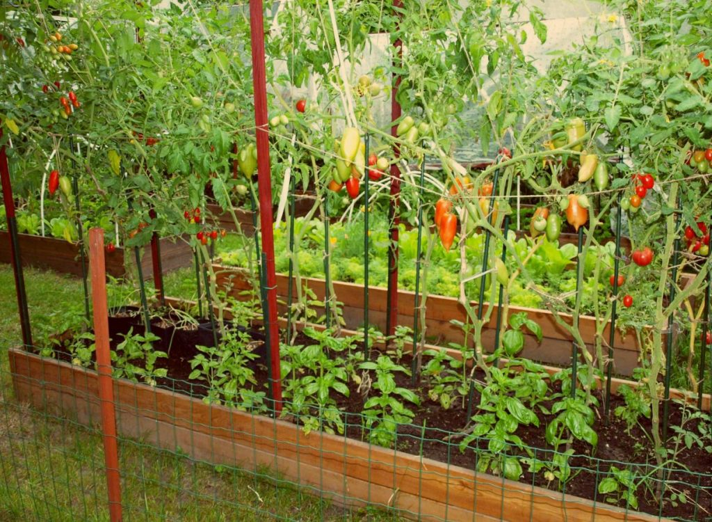 Krzewy pomidorów rosnące na podwyższonych grządkach