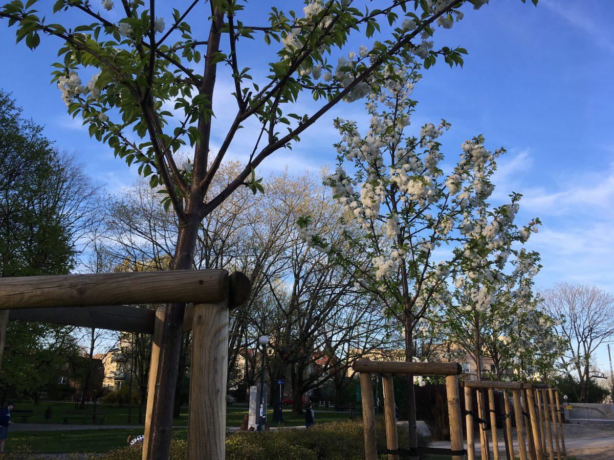Sadzenie drzew na ul. Świerszcza