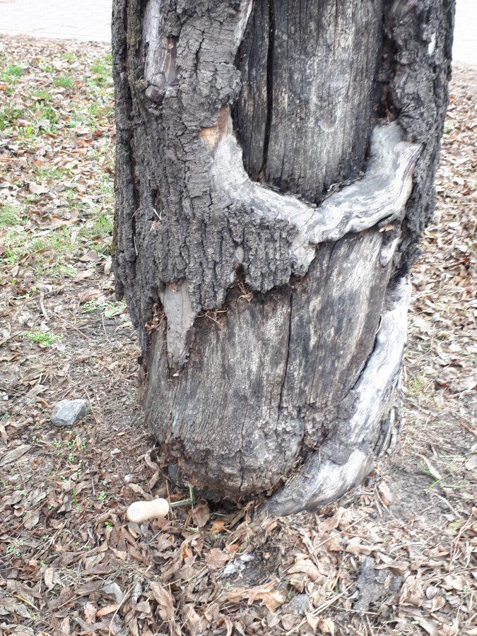 Drzewo na ul. Popularnej z odpadającą korą